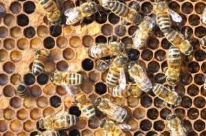 actu-abeilles